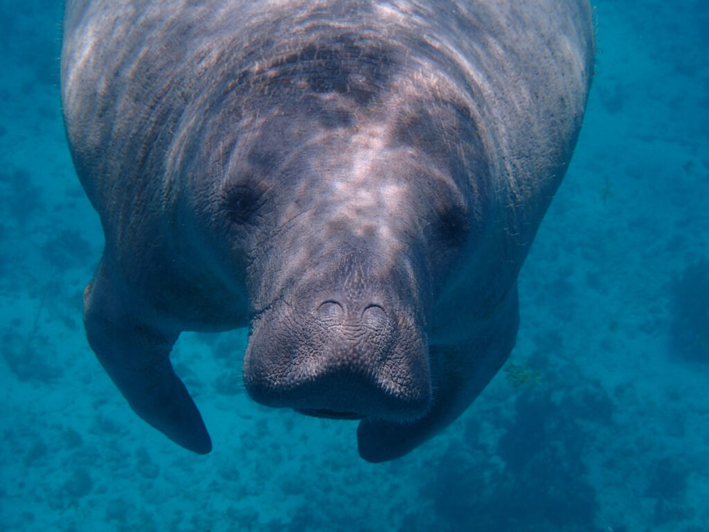 Caye Caulker diving with manatees