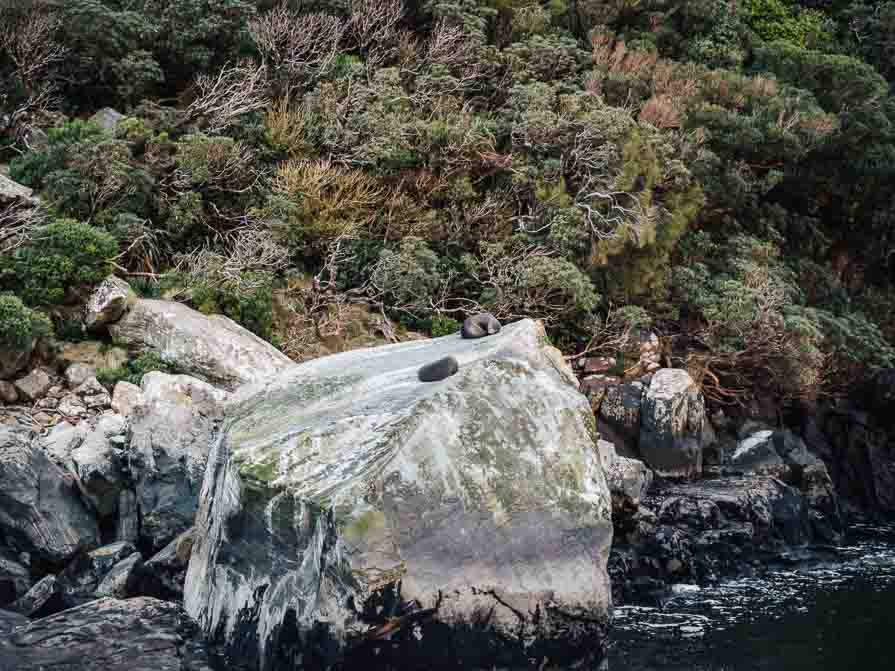 seals sitting on rock in milford sound